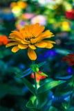 在维多利亚` s Butchart庭院的一朵黄色花 库存图片
