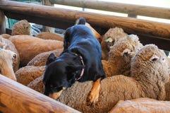 在绵羊顶部的护羊狗 免版税库存照片