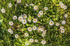 在绽放和绿草的春黄菊 自然五颜六色的背景 免版税库存照片
