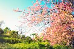 在绽放樱花季节性场面自然背景中 免版税库存图片