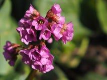 在绽放特写镜头的花桃红色Saxifrage 库存照片