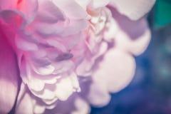 在绽放的一朵桃红色日本山茶花花 免版税库存照片