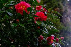 在绽放的一朵桃红色camelia japonica花 库存照片