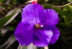 在绽放的一朵精美紫色花 库存图片