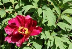 在绽放的一株黑暗的桃红色牡丹 免版税库存照片
