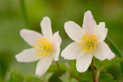 在绽放的两朵五叶银莲花 免版税库存照片