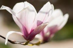 在绽放的两朵木兰花 免版税库存图片