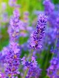 在绽放的五颜六色的淡紫色花 免版税库存图片