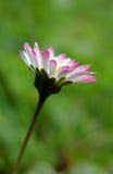 在绽放的五颜六色的雏菊花 免版税库存照片