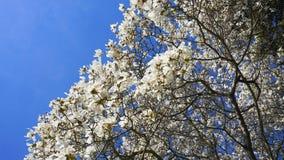 在绽放的华丽和美丽的木兰stellata树与在天空蔚蓝背景的白花 免版税库存照片