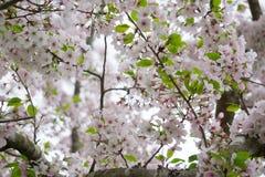 在绽放的吉野樱桃树 免版税库存图片