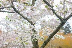 在绽放的吉野樱桃树 库存照片