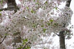 在绽放的吉野樱桃树 免版税库存照片