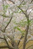 在绽放的吉野樱桃树 图库摄影