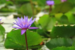 在绽放的唯一紫色莲花 库存照片