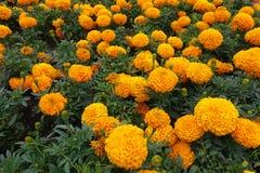 在绽放的墨西哥万寿菊在夏天 图库摄影