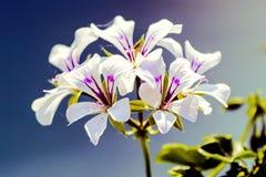 在绽放的大竺葵在庭院里 免版税图库摄影