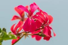 在绽放的大竺葵在庭院里 库存照片