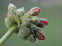 在绽放的大竺葵芽在绿色背景中 库存照片