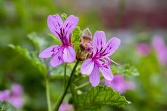 在绽放的天竺葵graveolens,装饰花 免版税库存图片