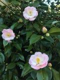 在绽放的山茶花Japonica 库存图片