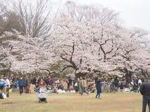 在绽放的日本樱花 库存图片