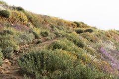 在绽放的明亮的橙色充满活力的生动的金黄花菱草,季节性春天本地植物,紫色和白色野花 库存图片