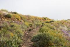 在绽放的明亮的橙色充满活力的生动的金黄花菱草,季节性春天本地植物,紫色和白色野花 图库摄影