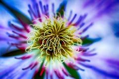 在绽放的明亮的生动的美丽的铁线莲属 免版税库存图片