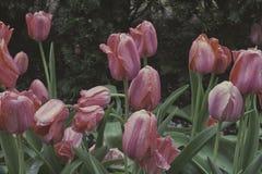 在绽放的春天郁金香 免版税库存图片