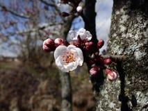 在绽放的树在春天 库存图片