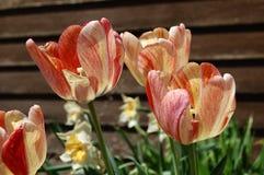 在绽放的桃子,橙色和黄色郁金香 免版税库存图片