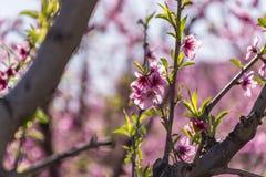 在绽放的桃树,与在日出的桃红色花 Aitona 阿尔卡拉斯 托雷斯德塞格雷 lleida 西班牙 农业 背景接近的黑暗的花兰花 免版税库存照片