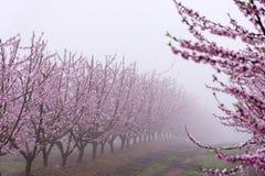 在绽放的桃树,与桃红色花,在一有雾的天,在日出 免版税图库摄影