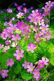在绽放的桃红色三叶草花 免版税图库摄影