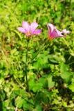 在绽放的桃红色三叶草花 库存照片