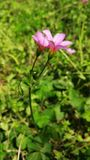 在绽放的桃红色三叶草花 库存图片