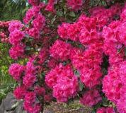 在绽放的桃红色杜鹃花灌木。 春天。 西北的美国。 免版税库存图片