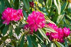 在绽放的桃红色杜鹃花grandiflorum花 免版税图库摄影