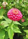 在绽放的桃红色百日菊属大丽花花 免版税库存照片
