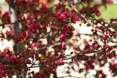 在绽放的桃红色Crabapple树枝 免版税图库摄影