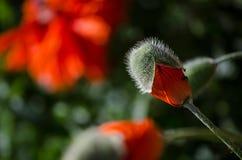 在绽放的橙色小狂放的鸦片花 在美丽的春天花瓣的蚂蚁,特写镜头在5月 免版税库存照片