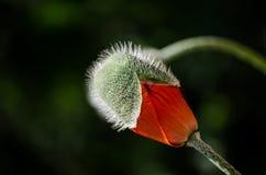 在绽放的橙色狂放的鸦片花 美丽的春天花瓣特写镜头 库存照片