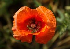 在绽放的橙色鸦片花 免版税库存照片