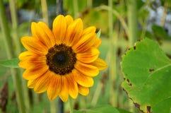 在绽放的橙黄向日葵 库存图片