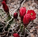 在绽放的沙漠仙人掌 免版税库存照片