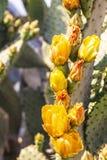 在绽放的沙漠黄色仙人掌 免版税图库摄影