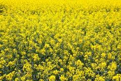 在绽放的油菜籽领域在法国乡下在春天,整个银幕 库存照片