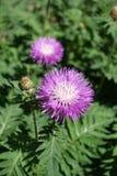 在绽放的波斯矢车菊在春天 库存图片