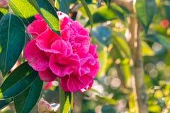 在绽放的深桃红色的山茶花花 免版税库存照片